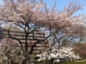 2012気象台桜.jpg