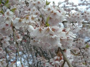 2010桜_榴ヶ岡公園1.jpg