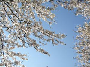 2010桜_榴ヶ岡公園3.jpg