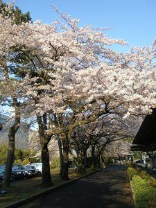 2010桜_榴ヶ岡公園5.jpg