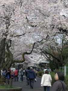 2010桜_榴ヶ岡公園6.jpg
