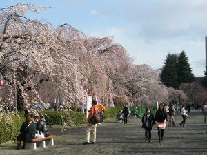 2010桜_榴ヶ岡公園7.jpg