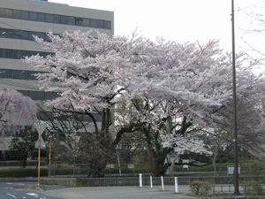 2010桜_仙台管区気象台標本木.jpg